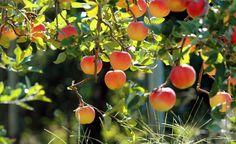 Уход за плодовыми деревьями: правила обрезки
