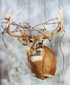 Pack Mount Whitetail Mounts In 2019 Deer Mounts