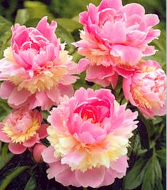 Oh how I love Peonies and these are about as good as they get