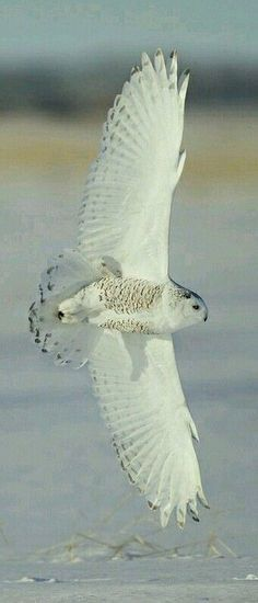 Snowy owl in flight. How beautiful.