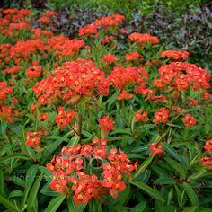 Euphorbia griffithii - 'Fireglow' (Spurge) digging dog has this