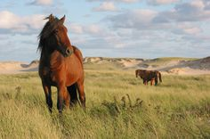 Wild horses on Sable Island dunes: Sable Island National Park Reserve of Canada