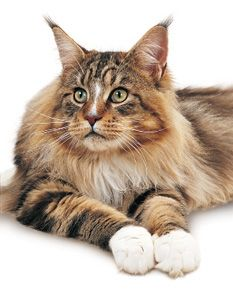 Le chat Maine Coon -