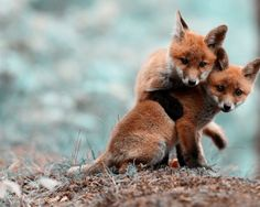 Fox cubs.   Ok his is like super cute but the one in front looks like its cut in half