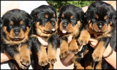 Rottweiler puppies for sale Vom Haus Burns Rottweiler Kennel Youth & Adult Rottweilers For Sale From Professional breeder Rottweiler Training, Rottweiler Puppies, Puppy Care, Pet Puppy, I Love Dogs, Cute Dogs, German Dog Breeds, Rotten, Therapy Dogs