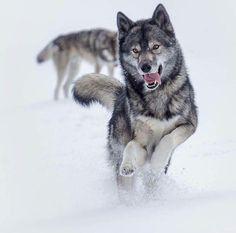 """2,500 Likes, 8 Comments - Destination Wild (@destination_wild) on Instagram: """"Wolves ❤️❤️ Photography by @ninja.vom.wolfstor #Destination_wild"""""""