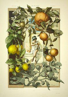 illustration allemande : Anton Seder, 1890, agrumes, enfant grec, gravure