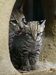 Baby Ocelot at Hellabrunn zoo in Munich, southern Germany  80 days old