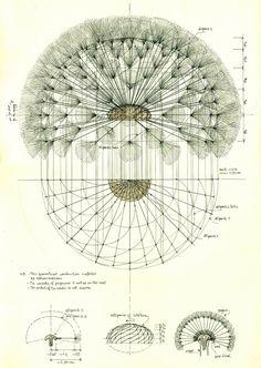 Antique Botanical Illustration of Dandelion Seedhead - Art and Design Art And Illustration, Botanical Illustration Black And White, Illustrations, Geometry Art, Sacred Geometry, Botanical Drawings, Botanical Prints, Dandelion Art, Dandelion Drawing