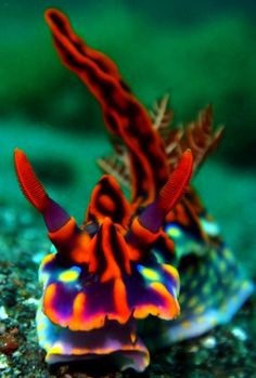 Komodo, Indonesia (Nudibranch) Ceratosoma Magnificia - Under the Sea Underwater Creatures, Underwater Life, Ocean Creatures, Strange Sea Creatures, Komodo, Poisson Mandarin, Life Under The Sea, Sea Slug, Water Animals