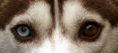 Their cold, steely eyes are perfect for scoping out movement on the desolate steppes. Almond in shape, moderately spaced and set slightly obliquely, the eyes of a Siberian Husky are ice-blue, dark blue, amber, or brown. I want one!