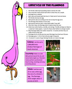 Facts For Kids, Fun Facts, Flamingo Facts, School Projects, Projects To Try, Animal Facts, 11th Birthday, Llamas, Pink Flamingos