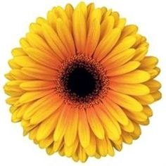 Buy wholesale cut Gerbera Acapulco for delivery to any UK address. Acapulco Gerbera is orange & yellow & ideal for bridal work & wedding flowers. No minimum order required - Floral accessories also available. May Flowers, Amazing Flowers, Fresh Flowers, Yellow Flowers, Wedding Flower Arrangements, Wedding Bouquets, Wedding Flowers, Florist Supplies, Gerber Daisies