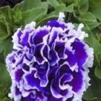 Petunia Double Purple 15 Seeds