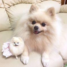 Tiny Puppies, Cute Dogs And Puppies, Most Beautiful Dogs, Animals Beautiful, Baby Animals Super Cute, Cute Animals, White Husky Puppy, Toy Dog Breeds, Cute Pomeranian