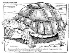 Tortoise Coloring Page. Sometimes called an African Spurred Tortoise, the Sulcata is the third largest species in the world. Only Galapagos and Aldabra tortoises grow bigger. More coloring pages and activities at www.MARKIX.net/fun