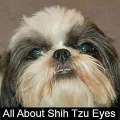 Shih Tzu Eye Problems: What You Should Know #shihtzu