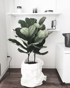 "•• Save the date •• If you're a 'green' enthusiast, don't forget to save next Saturday 3rd June for our ""Plant Social Pop up"" with @theplantsocietyau . See previous post for all the details. Beautiful image via @uashmama_benelux @harperandharley #fiddleleaf #tipstokeepitalive #indoorplants"