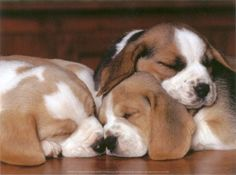 sleepy baby beagles -- aawwwww