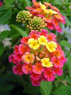 Lantana tolerates heat and attracts butterflies and hummingbirds. by LeE cHuEn on Flickr....