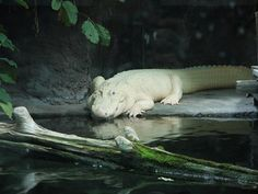Albino Aligator - Audubon Aquarium of the Americas
