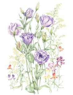 Study of Eustoma (Lisianthus) Purple with Pink Accent Floral - Botanical Print by ArtisanCottageStudio on Etsy