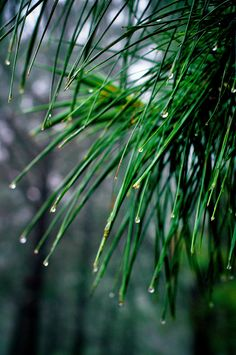 Waterdrops on Pines / norsez