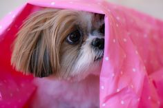 Peek-a-boo Shih Tzu! Am I the only shih txu owner who's dog loves wrapping/tissue paper!?
