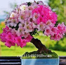 Rbol de j piter semillas 50 unids pack env o gratis - Rododendro arbol ...