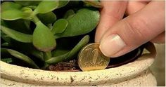 According to many famous feng shui healers, by doing this you will have positive vibration and you will also improve the wealth of your house. Namely, these feng shui healers claim that these plants will attracts money like a magnet. One of those plants Crassula Ovata, Plante Crassula, Money Plant Images, Plantes Feng Shui, Jade Tree, Feng Shui Tips, Jade Plants, Attract Money, Aquaponics System