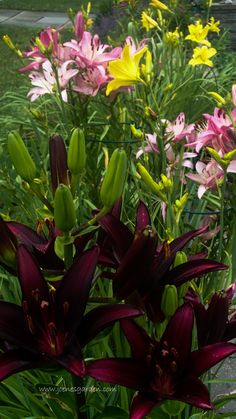 Asiatic lily 'Landini' (foreground), Asiatic lily 'Rosella's Dream', and the yellow Hemerocallis 'Hyperion' July 13, 2014 http://www.joenesgarden.com/morning-garden-july-13-2014/