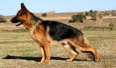 Dog Show Participation Programs at Klienbrook Kennels, Visit: http://www.klienbrook.com/dog-show-participation