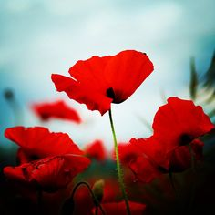 Poppies- admit it, you just said it the way the Wicked Witch did in with Wizard of Oz!
