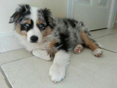Lokky/mini aussie/ berger australien/ chiot/ mignon/ blue eyes