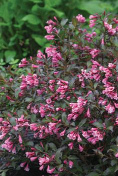 Proven Winners - Fine Wine® - Weigela florida pink plant details, information and resources. Flowering Shrubs, Trees And Shrubs, All Plants, Garden Plants, Garden Shrubs, Foliage Plants, Garden Roses, Outdoor Plants, Vegetable Garden