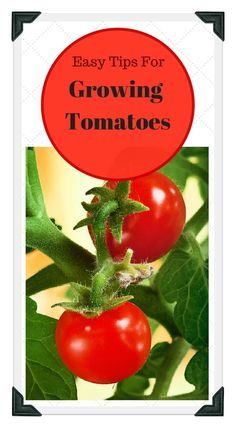 We offer easy tips for growing the best tomatoes in your home garden! Tomatoes can be grown in the ground, in a raised bed, or in a container on a sunny porch, balcony or patio.