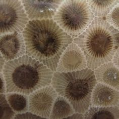 A close-up photograph of a polished Petoskey Stone showing the hexagonal chambers occupied by the coral polyps. Public domain photo by Lemon...