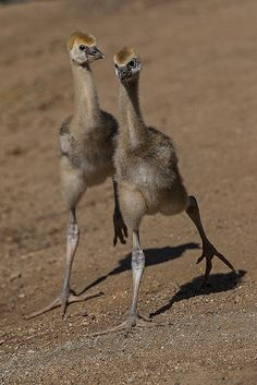 East African crowned crane chicks taking walk with their keeper! Endangered species.