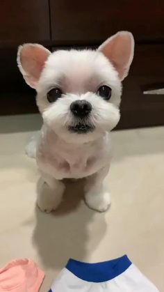 I choose by myself....... Cute Baby Dogs, Cute Little Puppies, Cute Funny Dogs, Cute Little Animals, Cute Funny Animals, Cute Cats, Cute White Puppies, Very Cute Dogs, Tiny Puppies