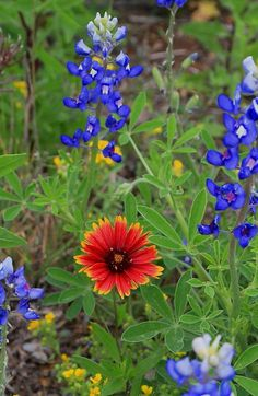 Texas wildflowers, for my cooler!