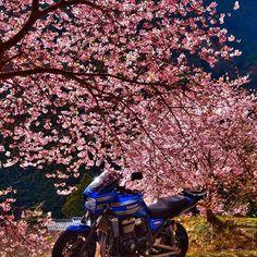 【cwu45p】さんのInstagramをピンしています。 《河津桜まつり2017🌸 銘木 上条の桜 人の少ない夜明け直後にメジロをじっくり撮るために夜明け前に箱根越えをして雪に降られ凍結防止剤でエンジン、マフラー真っ白なのは内緒です😅 #風景 #landscape #日本の風景 #Japaneselandscape #写真好きな人と繋がりたい #写真撮ってる人と繋がりたい #ファインダー越しの私の世界 #写真 #photogrph #photography #photographer #バイク #バイク旅 #バイクのある風景 #桜まつり #河津 #桜 #bj_mycar_member #bike_japan #visit_motorcycle》