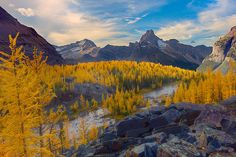 Stunning image of yellow larches from the Opabin Plateau in Lake O'Hara