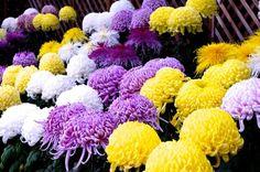 Chrysanthemum  Seasonal festival