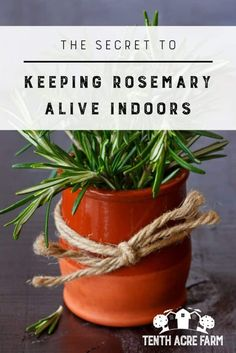 The Secret to Keeping Rosemary Alive Indoors: Growing rosemary indoors is a little tricky. Organic Gardening, Gardening Tips, Indoor Gardening, Indoor Herbs, Vegetable Gardening, Indoor Plants, Gardening Services, Gardening Quotes, Hydroponic Gardening