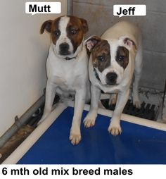***SUPER SUPER URGENT!!!*** - PLEASE SAVE MUTT & JEFF!! - EU DATE: 3/24/2015 -- Mutt And Jeff Breed:Terrier (mix breed) Age: Under 6 months Gender: Male Size: Small Special needs: hasShots, Location: Elizabethtown, NC  Read more at http://www.dogsindanger.com/dog/1426641726213#2wiehtAj5GGUxdS0.99 - About Mutt And Jeff: Mutt and Jeff are perky terrier mix boys 4 mos old. Please help us get them out of the shelter. The shelter is FULL, Please don't leave them there. . Call Silvia and Debbie…