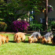 Arista Australian Terriers Australian Terrier Puppies, Norfolk Terrier Puppies, Terrier Rescue, Terriers, Dogs, Animals, Animales, Animaux, Terrier