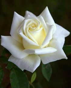 Most recent Totally Free Hybrid Tea Roses in pots Tips Hybrid car tea may be th. - Most recent Totally Free Hybrid Tea Roses in pots Tips Hybrid car tea may be the older list of ros -
