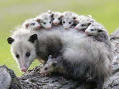 Possum mother and her babies