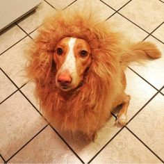 Por que não fantasiar o cachorro para o Halloween? Best Dog Costumes, Lions, Dogs And Puppies, Cute Pictures, Halloween, Pets, Instagram, Kansas, Travel