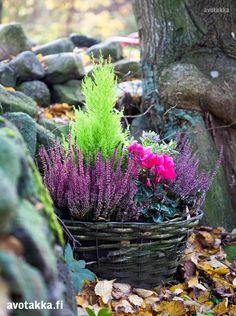 Elävöitä pihan tai parvekkeen pimeitä nurkkia värikkäällä istutuksella. Tässä hehkuvat kanerva, limetinvärinen sypressi ja kirsikanvärinen syklaami.